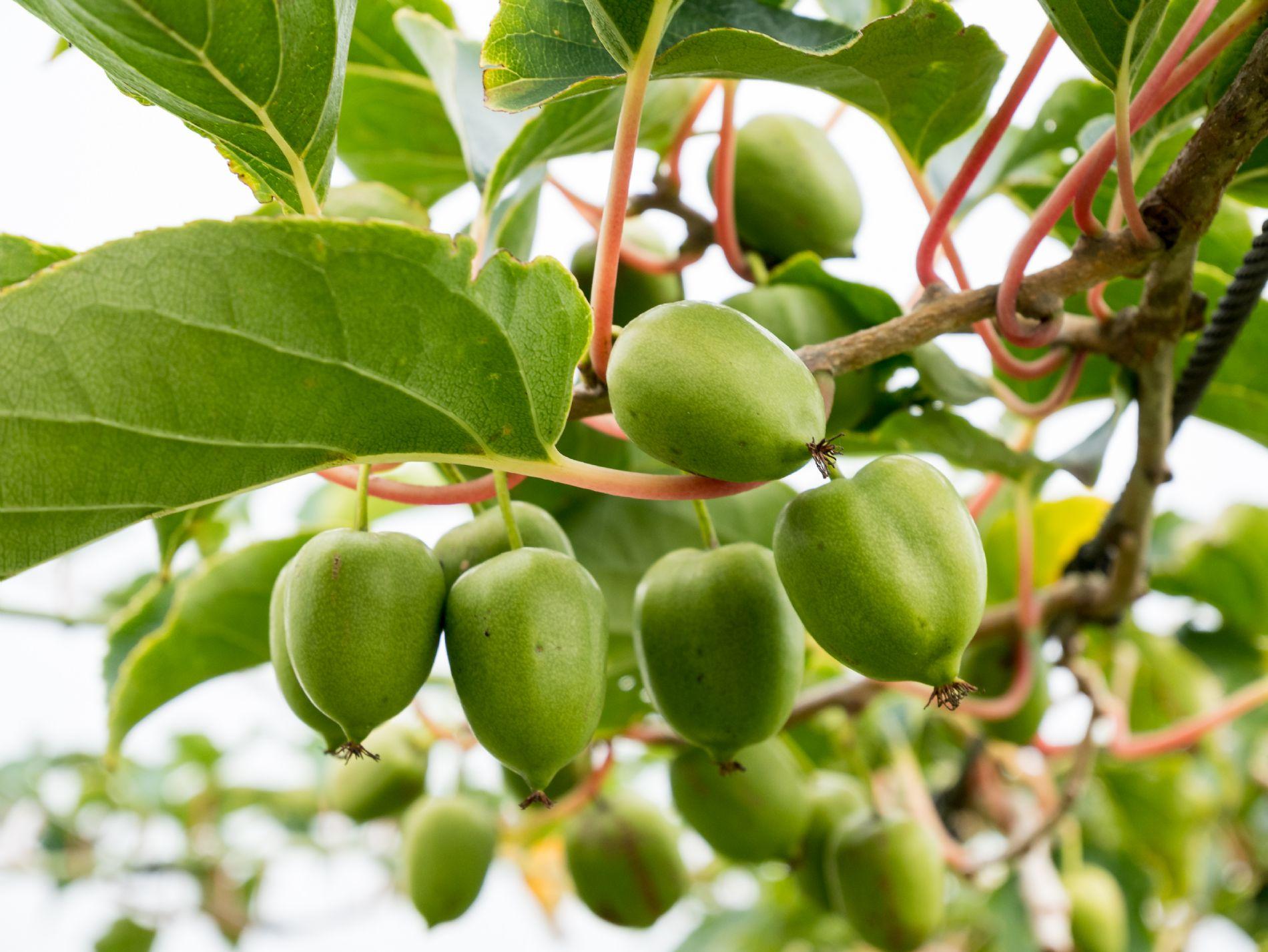 kiwiberry - mini kiwi
