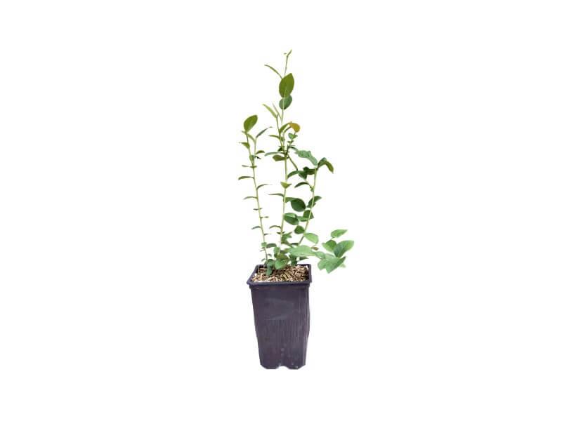 Venta online de planta de arándano bluecrop en maceta de 1,5 l