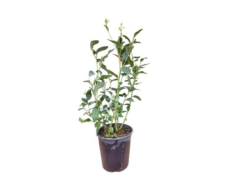 Planta arándano bluecrop maceta 4 L