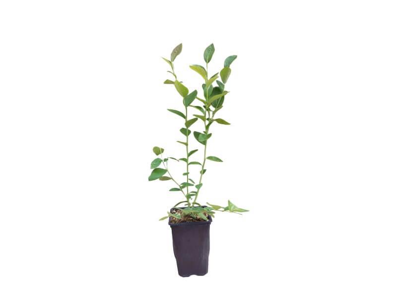 Planta arándano chandler en maceta 1,5 L
