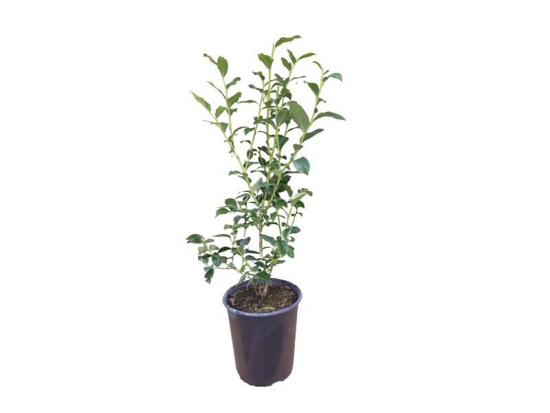 Planta arándano chandler en maceta 4 L