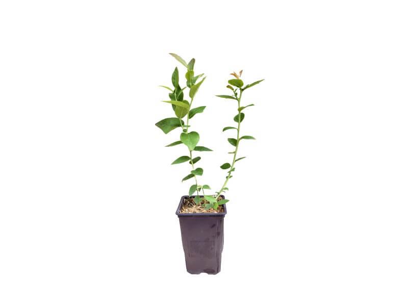 Planta arándano duke en maceta 1,5 L