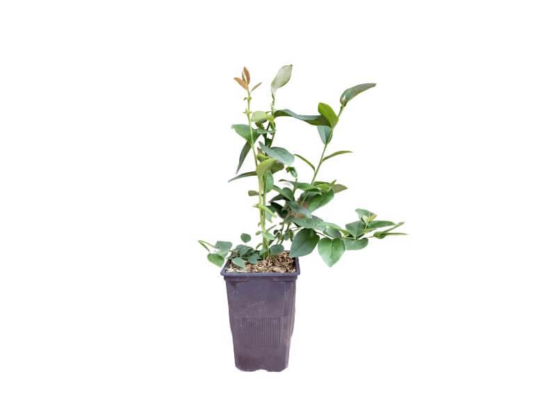 Planta arándano elliot en maceta 1,5 L