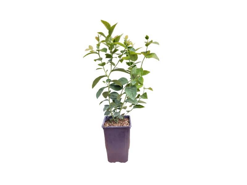 Planta arándano legacy en maceta 1,5 L