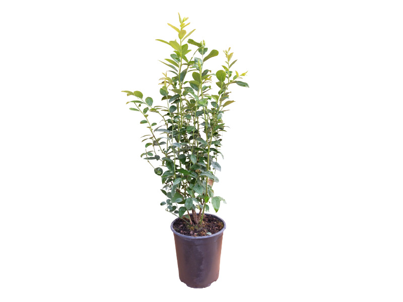 Planta legacy 4l