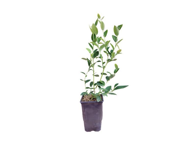 Venta online de plantas de arándano liberty en maceta de 1,5 L