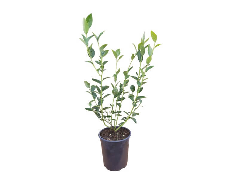Venta online de plantas de arándano liberty en maceta de 4 L