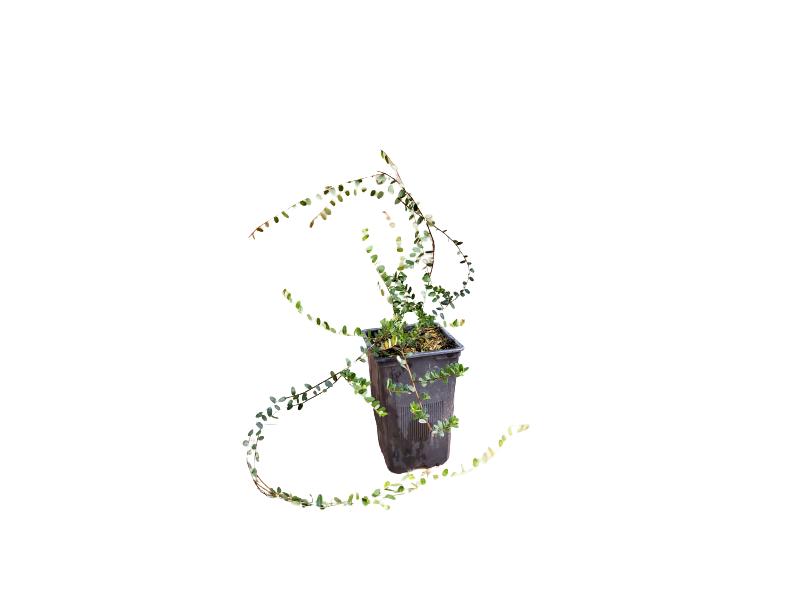 Venta online  Planta arándano rojo maceta 1,5 L