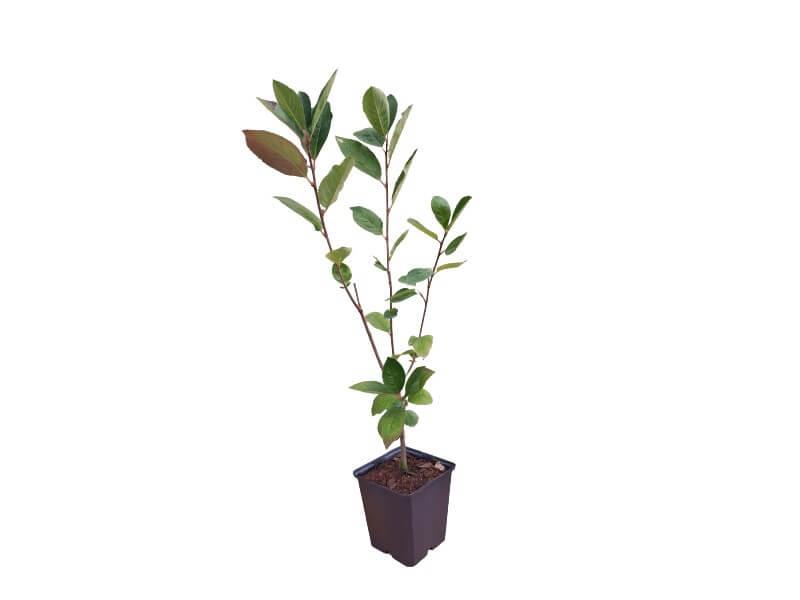 Venta planta aronia 2L