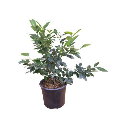 Venta online de planta arándano Aurora maceta 4L