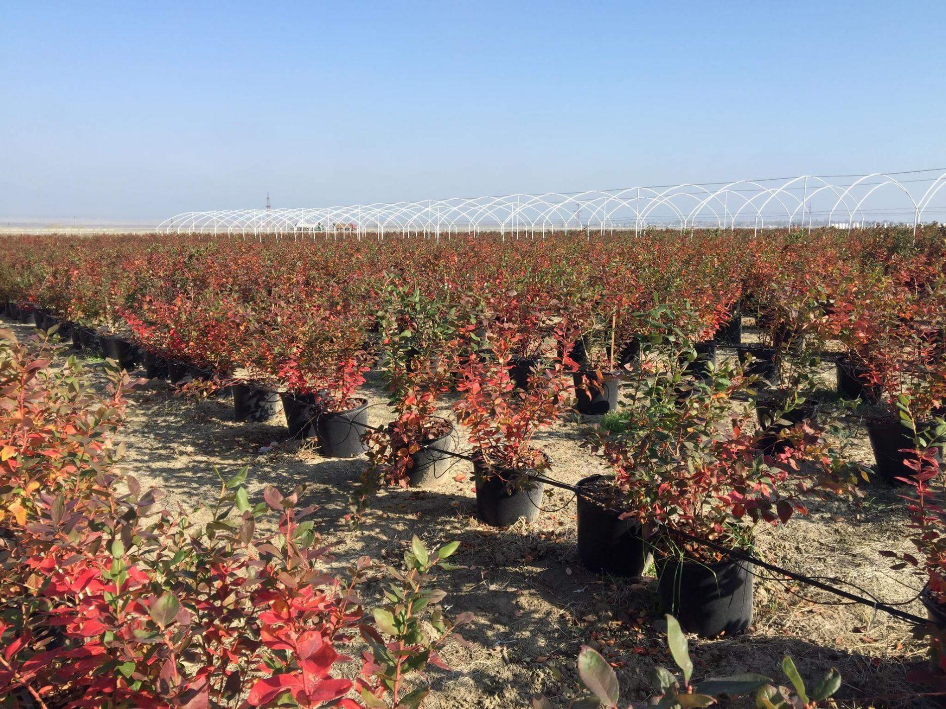 Consultora experta en cultivo hidroponia en plantas de arándanos