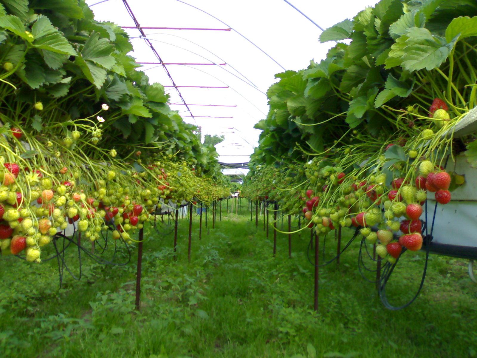 Consultora experta en hidroponia de fresa en Italia