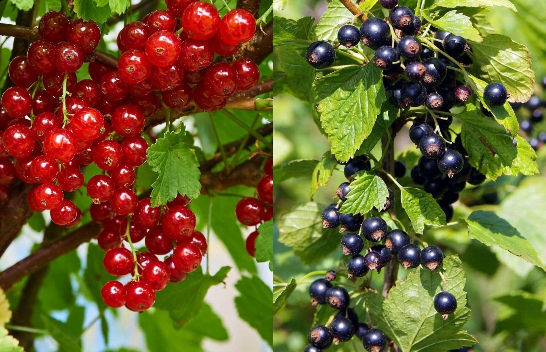 Comprar plantas de grosella, grosella roja y grosella negra