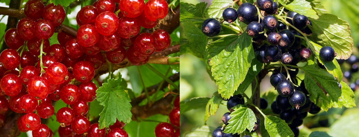 red currant and_black currant plan