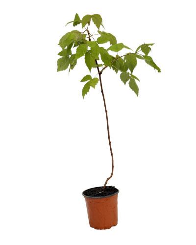 Comprar planta de frambuesa regina