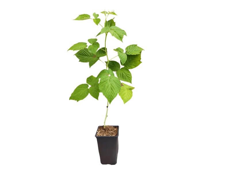 Venta online de plantas de Frambuesa Versalles en maceta de 1,5 L