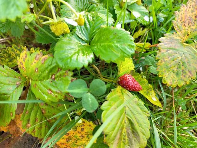 Venta online de fresas del bosque
