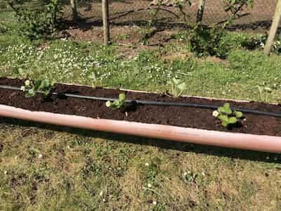 Plantar fresas fuera del suelo
