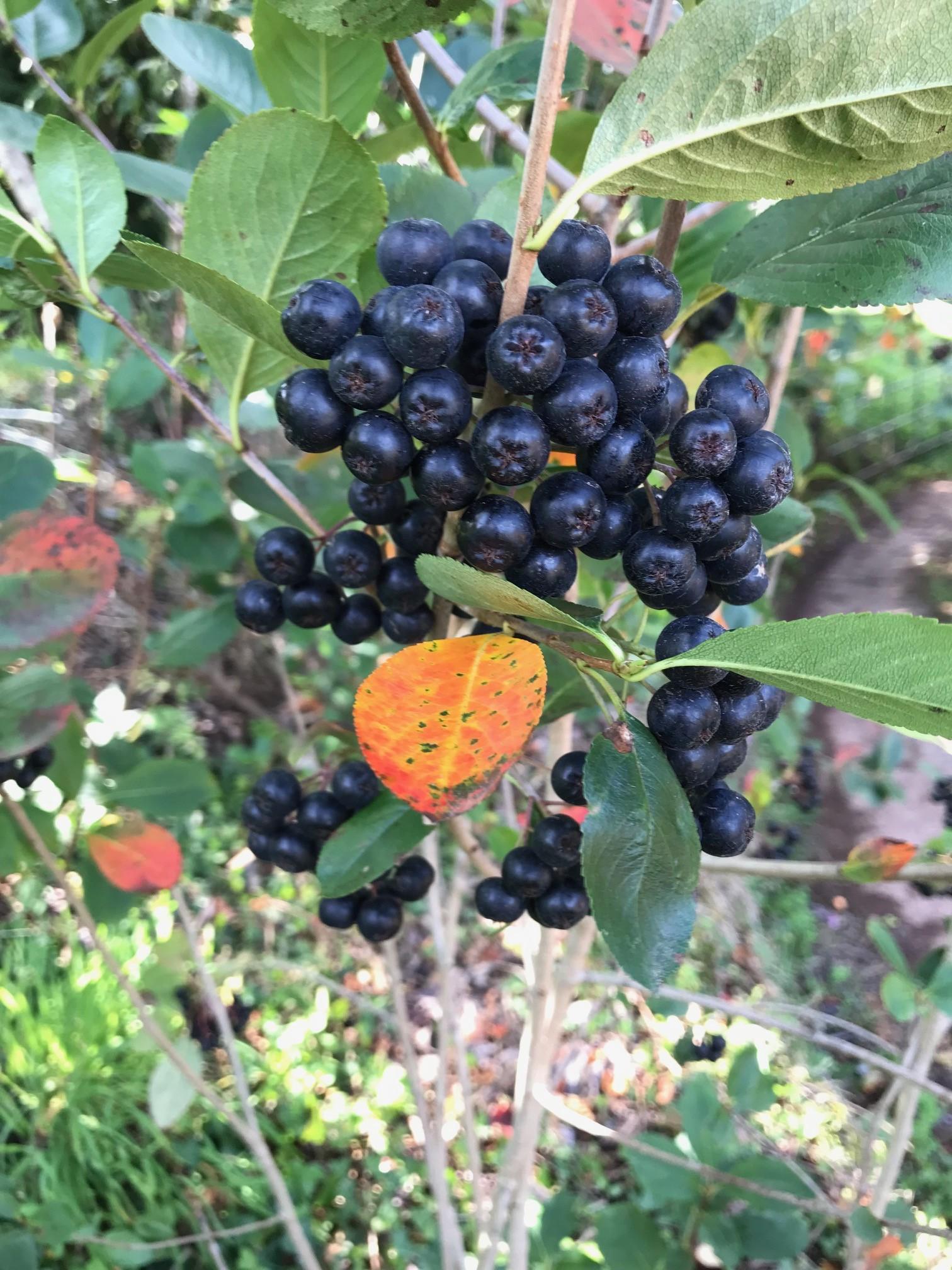 Fruto de la aronia
