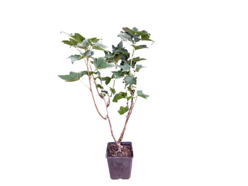 Venta online de plantas de grosella roja en maceta de 1,5 L