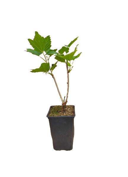 Planta grosella blanca 1,5l
