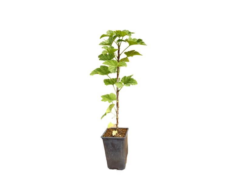 Venta online de planta de grosella roja en maceta de 1,5 L