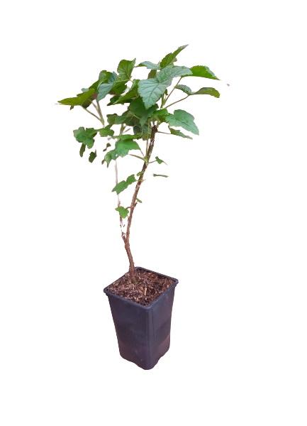 Planta grosella verde 1,5l