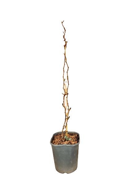 Venta online Planta kiwiberry Issai maceta 1,5L