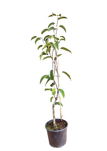Venta online Planta kiwiberry bingo maceta 1,5L