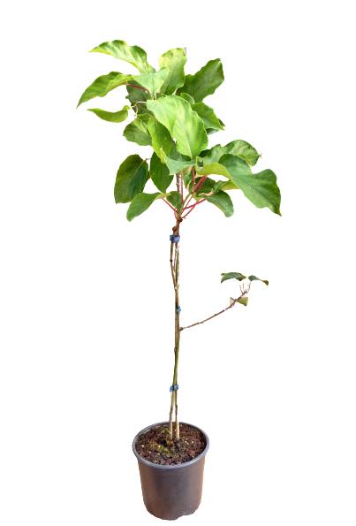 Venta online Planta kiwiberry geneva maceta 1,5L