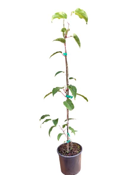 Venta online Planta kiwiberry Scarlet september maceta 1,5L