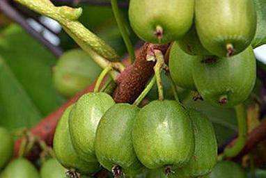 Venta online de plantas de mini kiwi VITIKIWI
