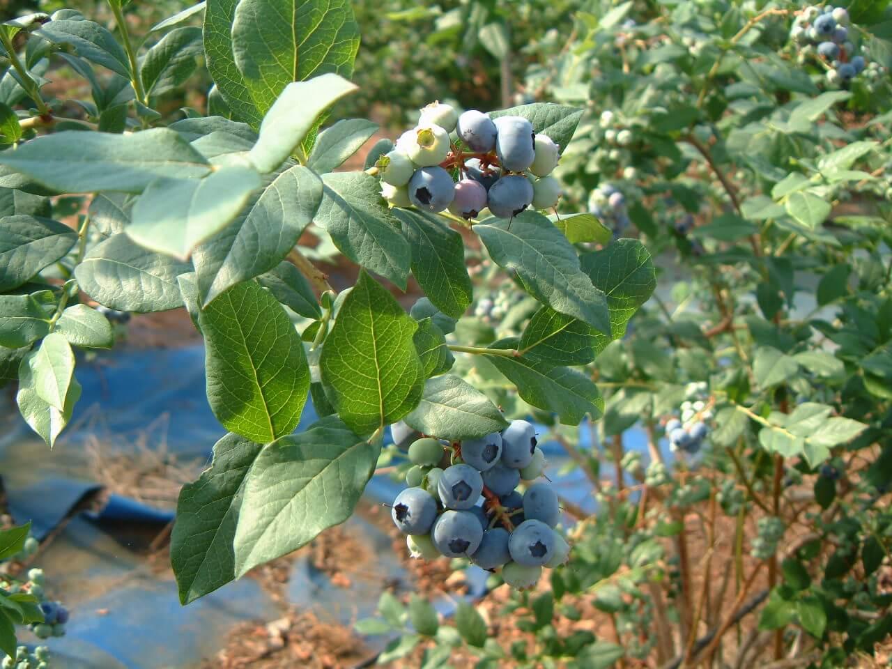 Bluecrop