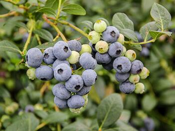 Blueberry Ozarkblue