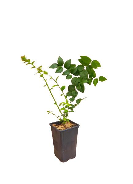 Planta de arándano variedad Ozarkblue en maceta de 1,5 Litros