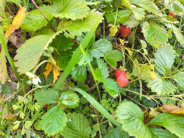 Venta online de plantas de fresa del bosque