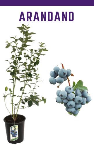 Venta online de plantas de arándano grandes