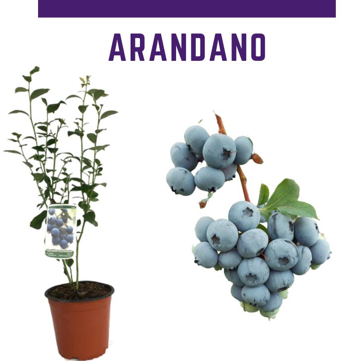 Venta online de plantas de arándano en maceta mediana