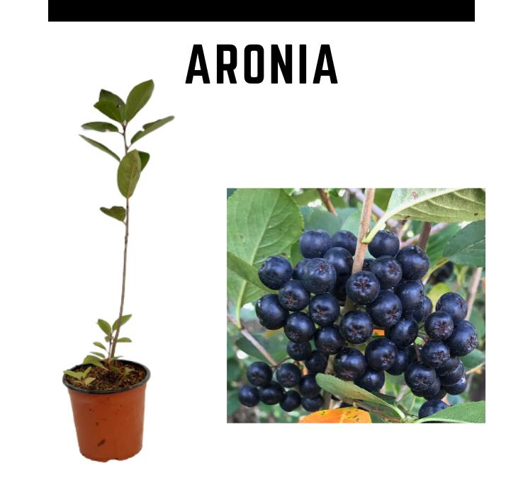 Beneficios y propiedades de la aronia