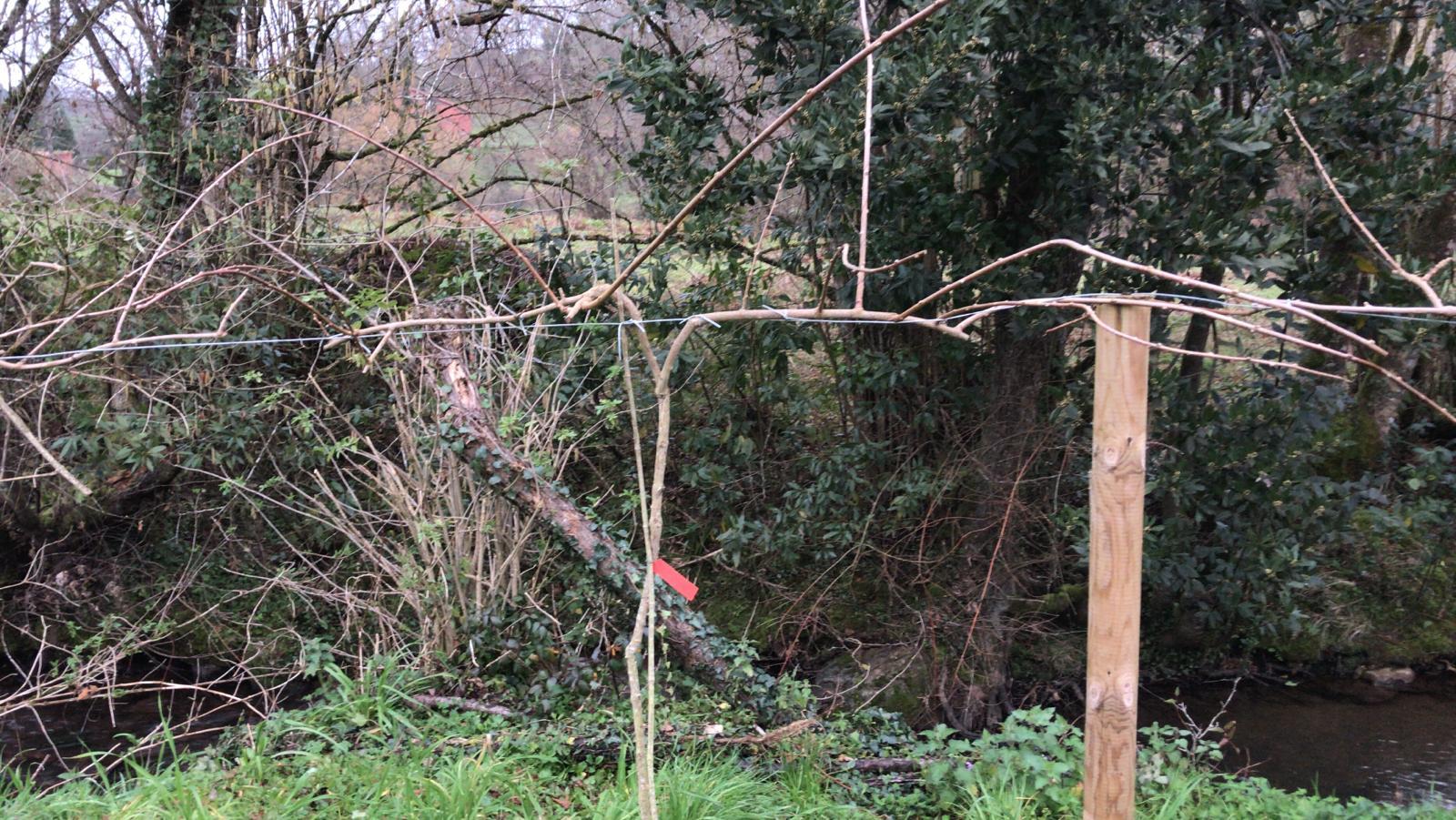 Planta mini kiwi tras la poda