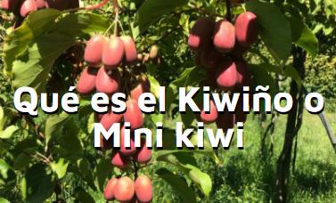 Artículo beneficios del mini kiwi, kiwiño o kiwiberry