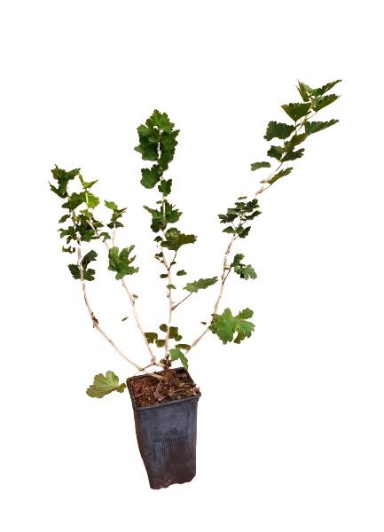 Planta uva espino roja 1,5l