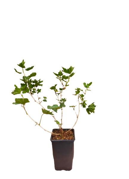 Planta uva espino verde 1,5l