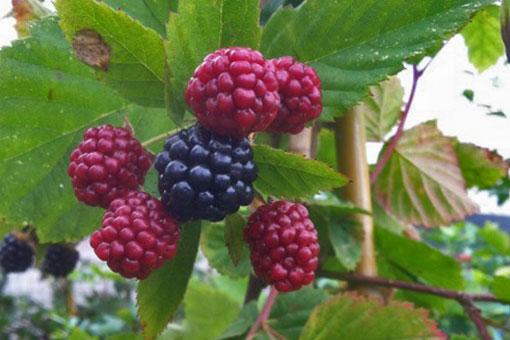 Blackberry loch ness