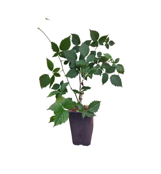 Venta online Planta zarzamora loch ness maceta 1,5 L.