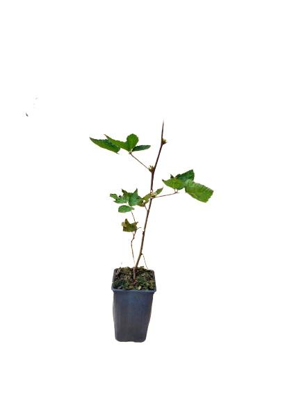 Planta zarzamora remontante ark-49 rubus idaeus 1,5l