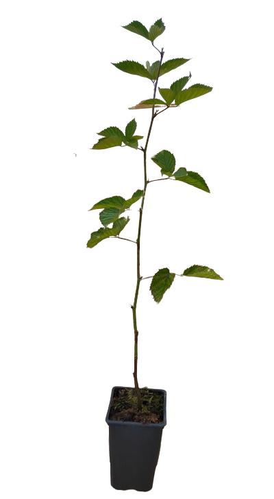 Planta zarzamora senza spina 1,5l