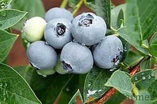 Blueberry Alix blue