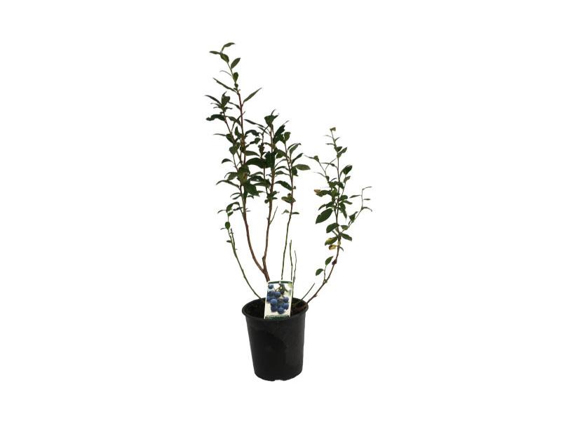 Planta arándano duke en maceta 4 L