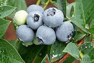 Venta online planta  Arandano ALIX BLUE